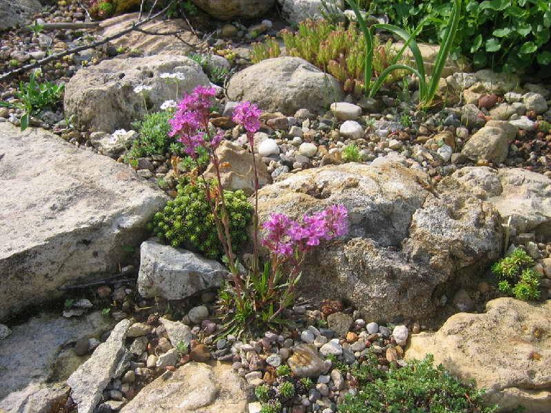 Lychnis alpina или  Viscaria alpina  или Steris alpina
