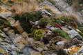 Альпийские камнеломки в Подмосковье