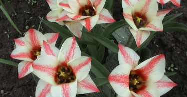 Такие разные тюльпаны