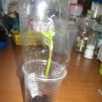 Черенкование георгин. Фото 12