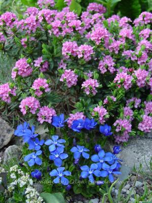 Daphne julia в моем саду отлично сочетается с горечавкой весенней