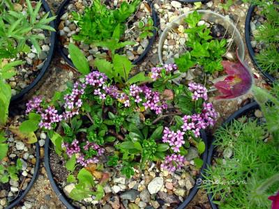 Daphne circassica молодое растение из черенка