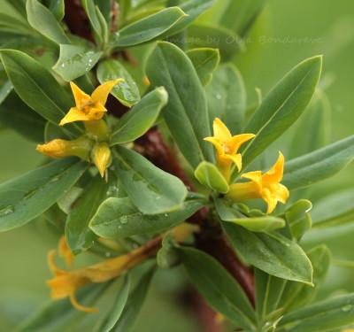 Daphne kamtschatica цветки