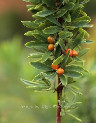 Daphne kamtschatica ягоды