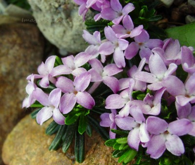Daphne arbuscula Koryto