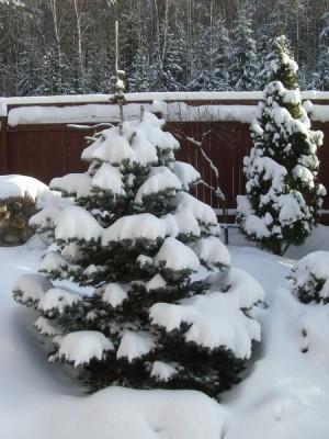 2007 год - Picea pungens Glauca Globosa