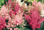 astilbe-wide