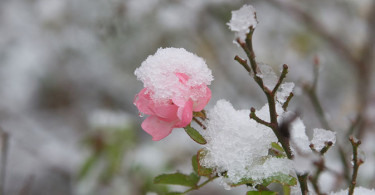 snowrose-wide