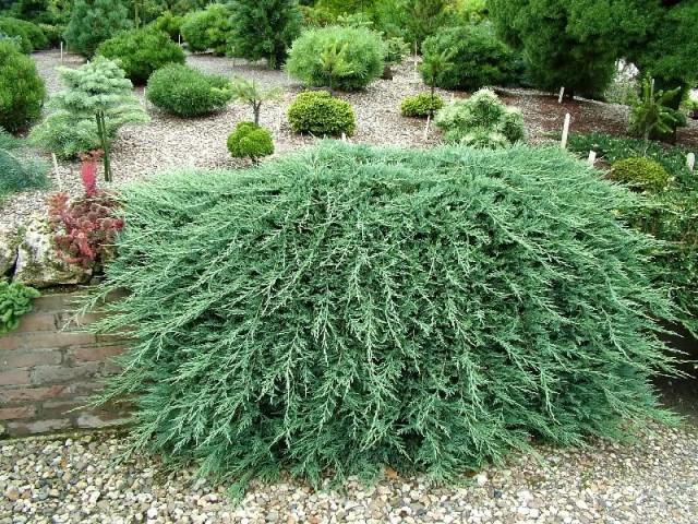 Juniperus-horizontalis