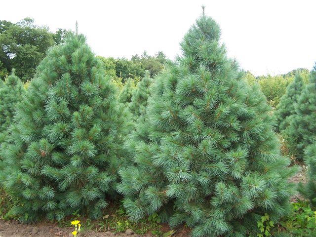 Pinus-Flexilis