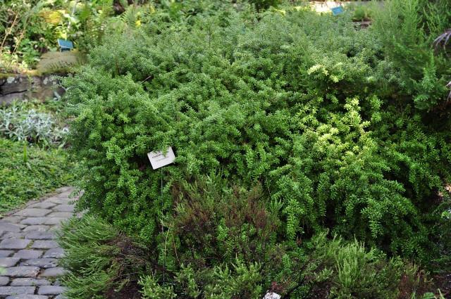 Podocarpus-nivalis