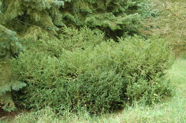 Taxus-canadensis