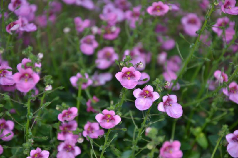 Уход и выращивание диасции