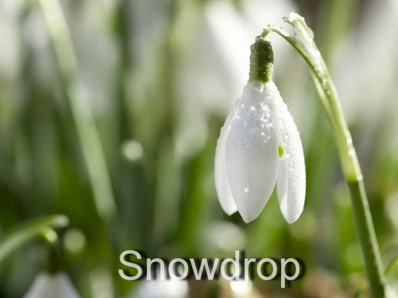 Подснежник - весточка весны