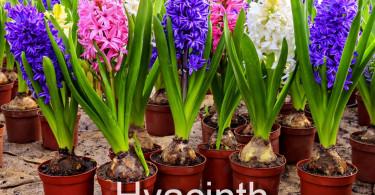 Гиацинт - очаровательный цветок!