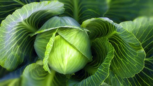 Как вырастить хорошую рассаду капусты