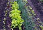 Первая зелень: секреты выращивания
