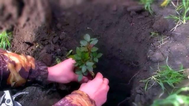 Когда сажают розы в открытый грунт