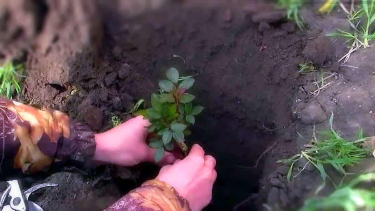 Как пересадить розу из горшка в открытый грунт