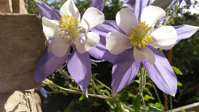 аквилегии, фиолетовые цветы, фиолетовый
