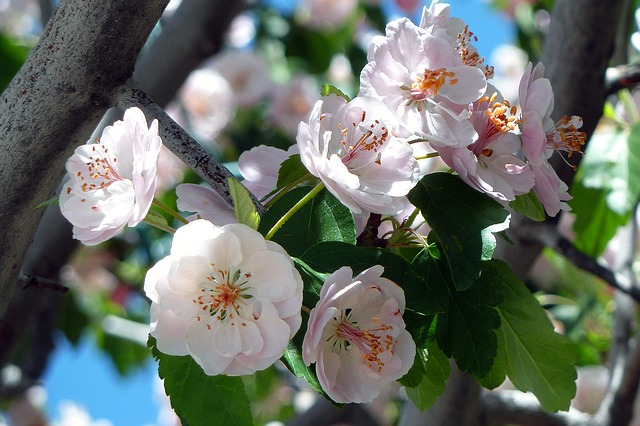 черри, цвести, цветы