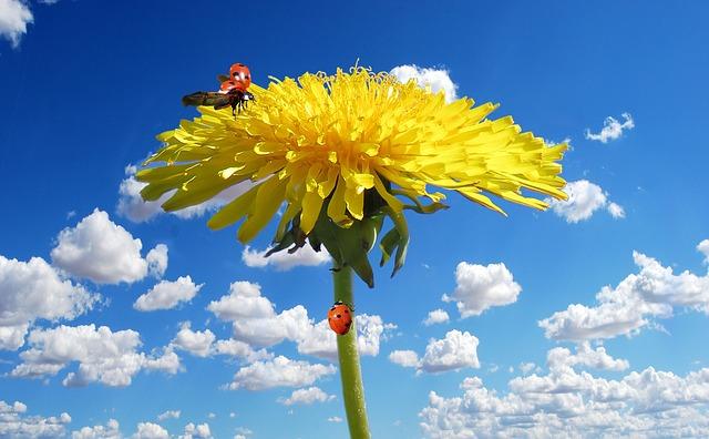 цветок, цвести, одуванчик