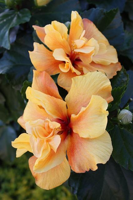 цветок, гладиолусы, гладиолус