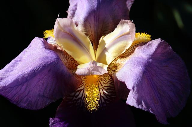 деталь, ирис, цветок