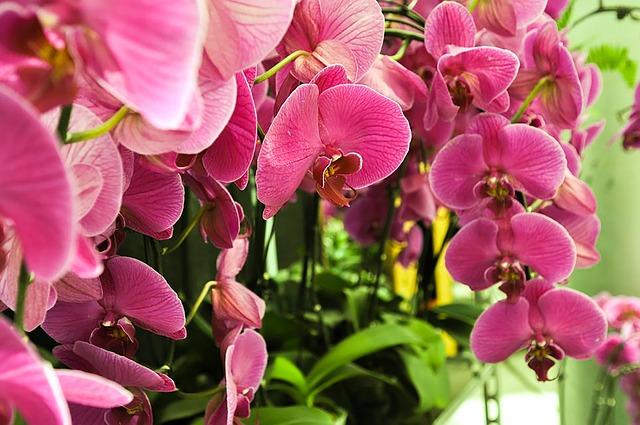фаленопсис, цветы, завод
