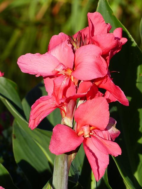 гладиолус, цветок, лето