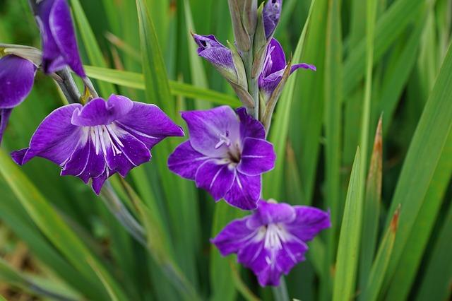 гладиолус, цветы, пурпурный