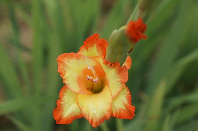 гладиолус, цветы, жёлтый