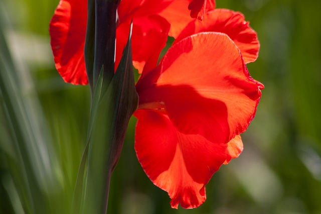гладиолус, меч цветок, ирисовые