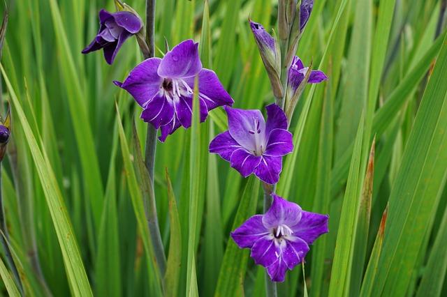 гладиолус, пурпурный, синий