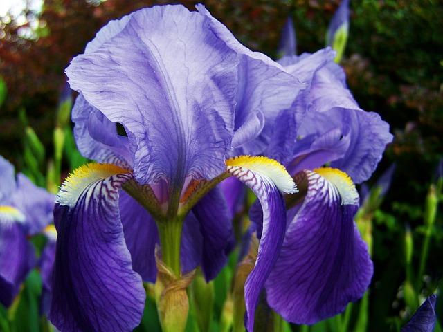 ирис, флер-де-лис, голубовато фиолетовый цветок весна