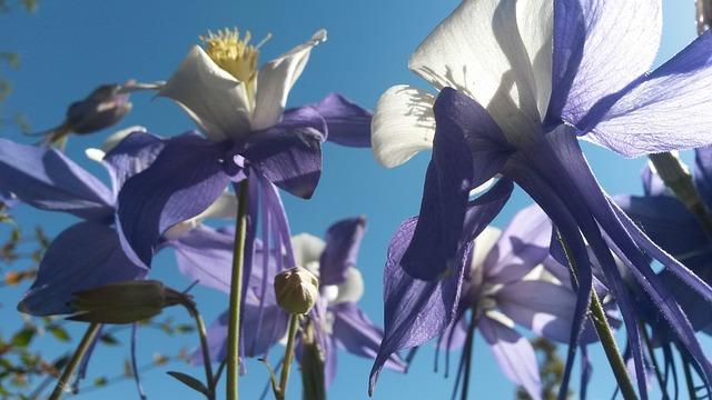 коломбина цветы, фиолетовый аквилегии, «колумбайн»