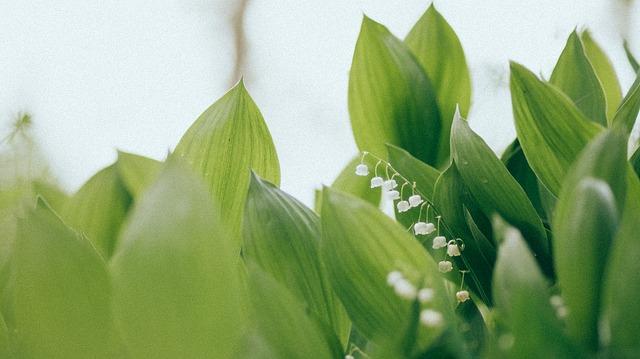 ландыш майский, ландыш, lillies