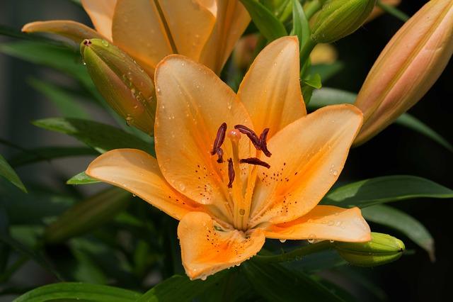 лили, цветок, лилейник