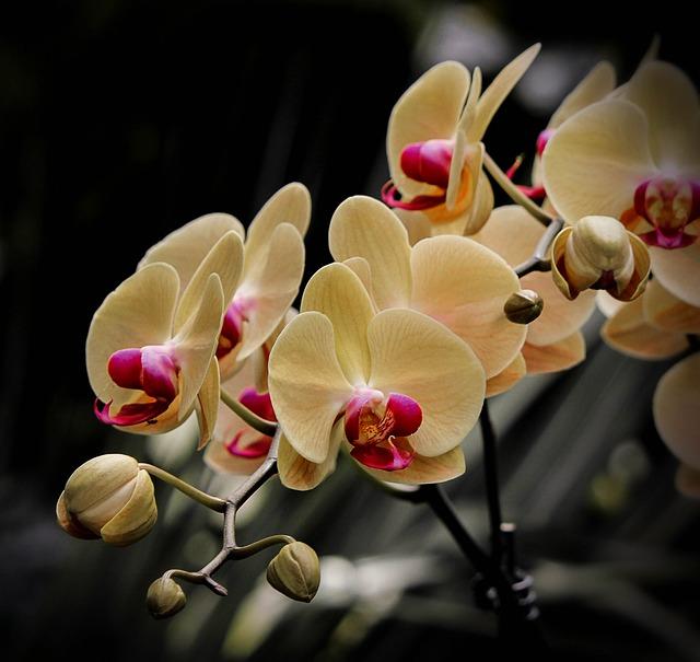 моль орхидеи, фаленопсис, цветы