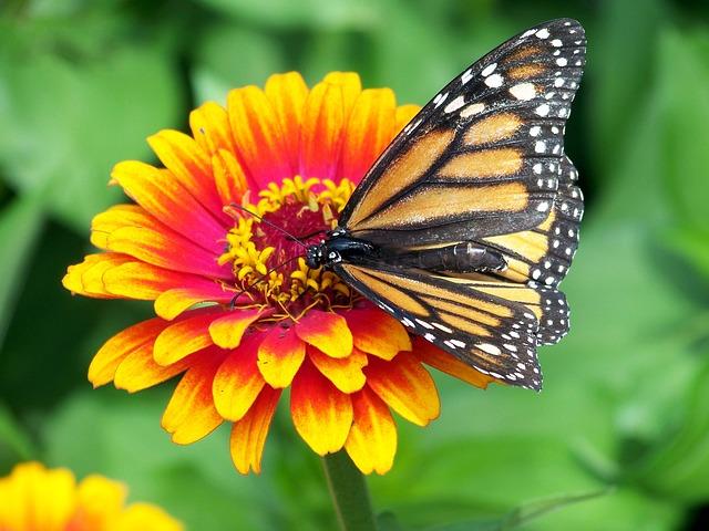 монарх, бабочка, цветок