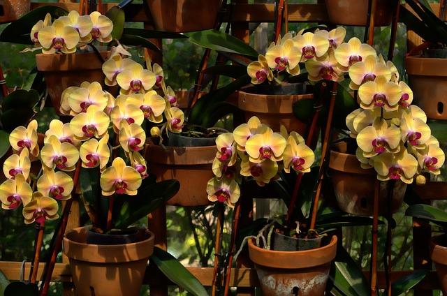 орхидеи, расцветает, цветы