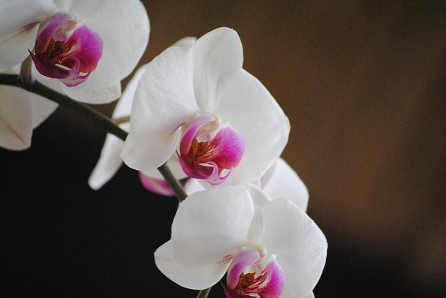 орхидеи, уайт, цветок