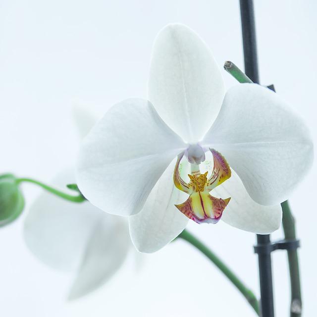 орхидея, белый, цветок