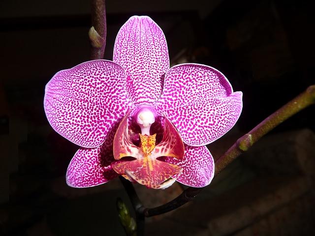 орхидея, фаленопсис, цветок