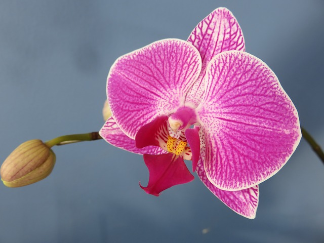 орхидея, фаленопсис, мотылек