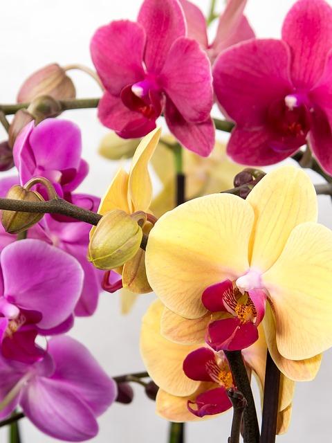 орхидея, phalaenopsis, бабочки орхидеи