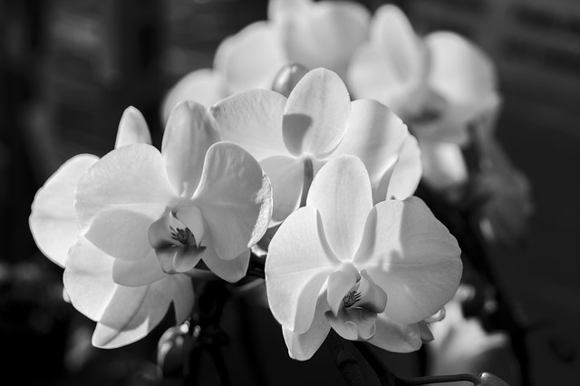 орхидея, phalaenopsis, белый