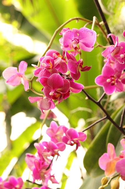 phalaenopsis, орхидея, розовый