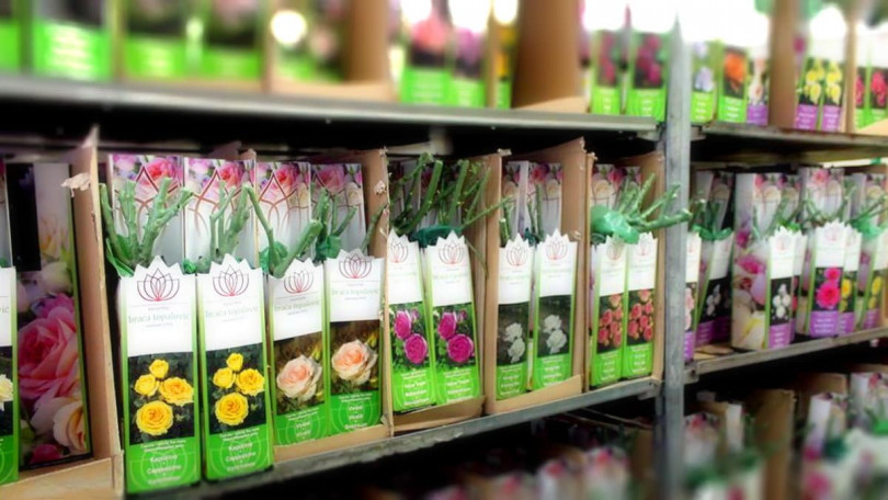 Как хранить саженцы розы до посадки?