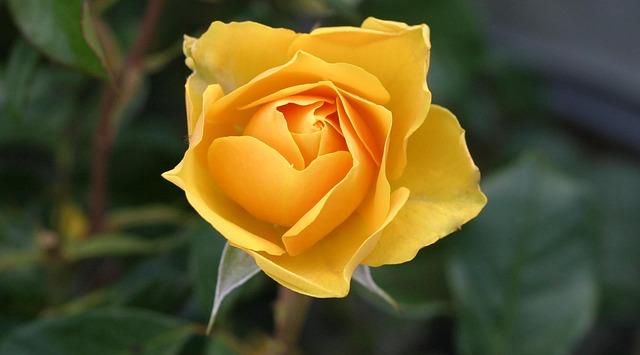 роуз, цветок, жёлтый